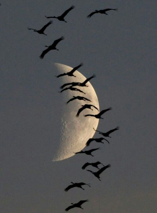 Pawel- Kopczynski-photographer_migrating-cranes-  Moon-with-flying-bird-silhouettes